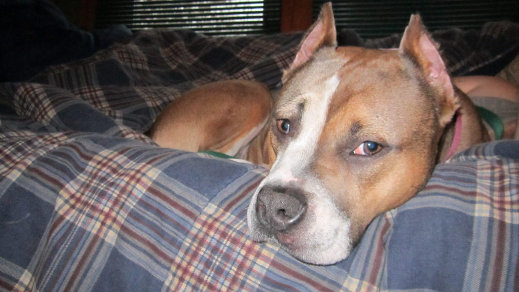 симптомы шока у собак