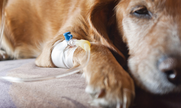 лечение шока у собаки