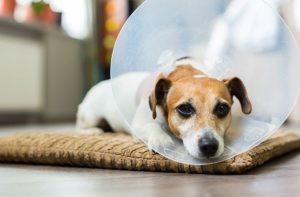 разновидности защитных воротников для собак