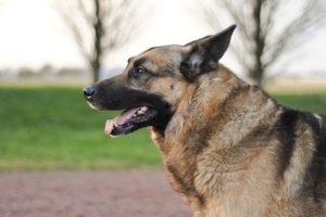 симптомы и лечение зоба у собак