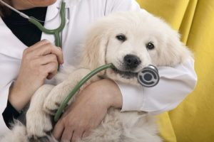 симптомы и лечение миокардита у собак
