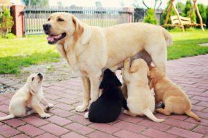 что делать если у собаки нет молока