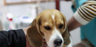симптомы и лечение выпадения матки у собак