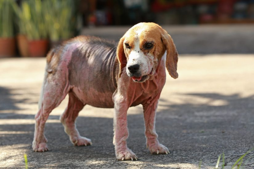 лечение пиодермии у собак