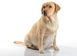 методы прерывания беременности у собак