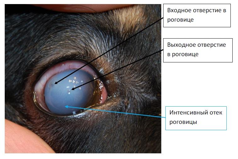 травма глаза у собак