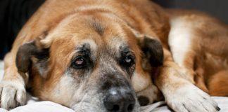 симптомы и лечение туберкулеза у собак