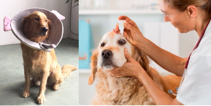 собака после операции на глазах