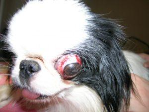 симптомы травмы глаза у собаки