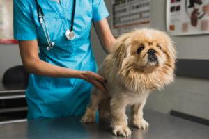 симптомы и лечение пиометры у собак