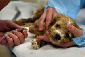 парвовирусная инфекция у собак