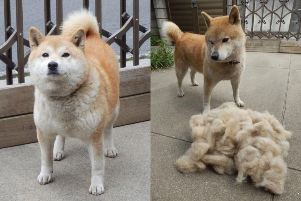 природная линька у собак