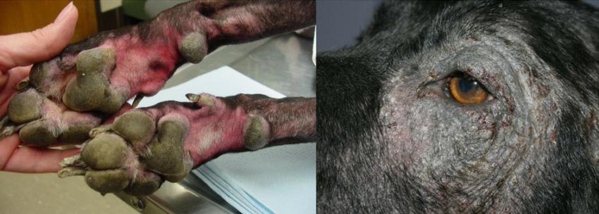 симптомы пищевой аллергии у собак