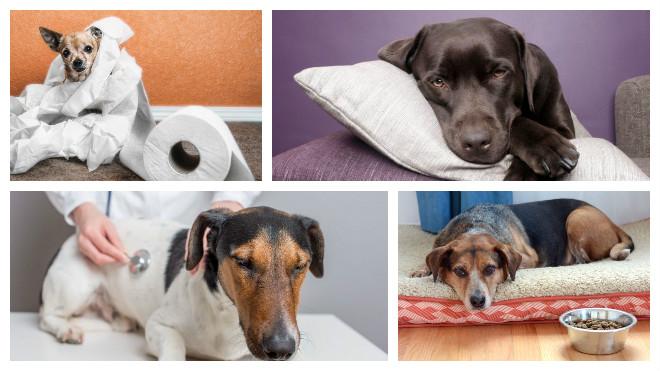 инфекционный понос у собаки