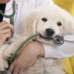 миокардит у собаки