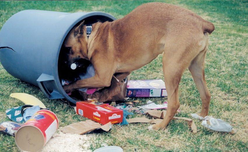 собака ест из мусорки