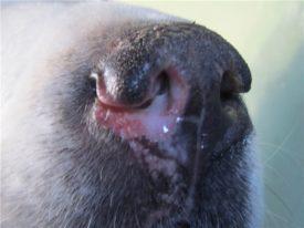 истечение из носа у собак