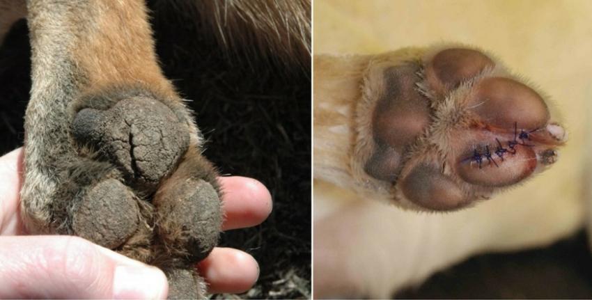 Трещины на лапах у собак