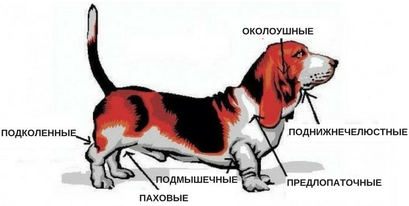 лимфаденит у собаки