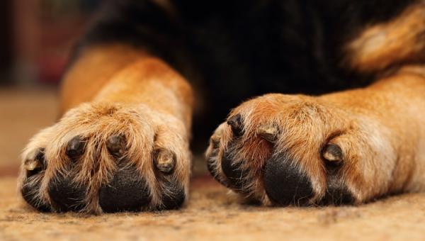 лечение поврежденного когтя у собаки