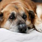 туберкулез у собак
