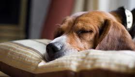 у собаки болит шея