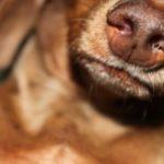 у собаки гной из носа
