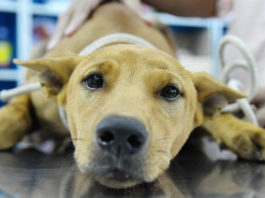 симптомы и лечение несахарного диабета у собак