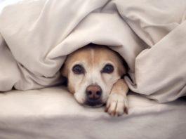 Противовоспалительные для собак