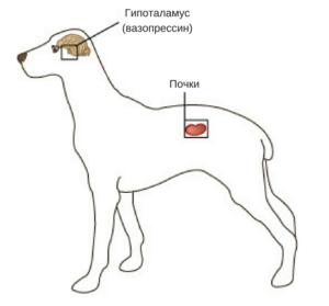 Несахарный диабет у собак
