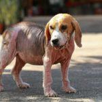 пиодермия у собак