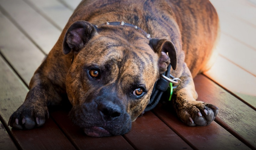 Болезнь Аддисона у собак