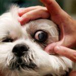 лечение травмы глаза у собаки