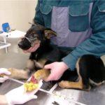 лечение гангрены у собак