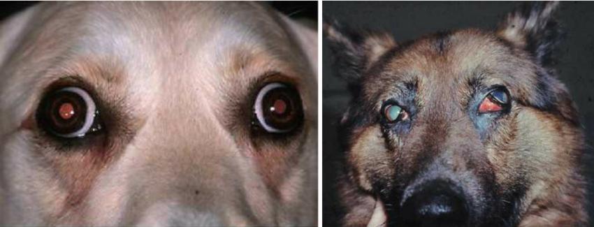 миозит у собак