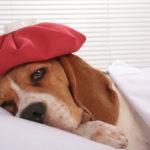 лечении пневмонии у собак