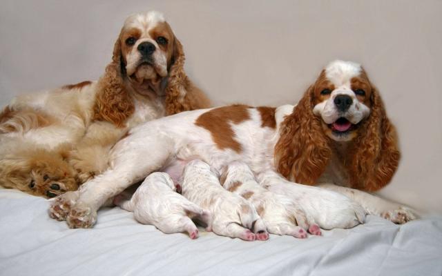 Спаниели с щенками
