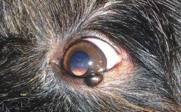 Опухоль века у собаки