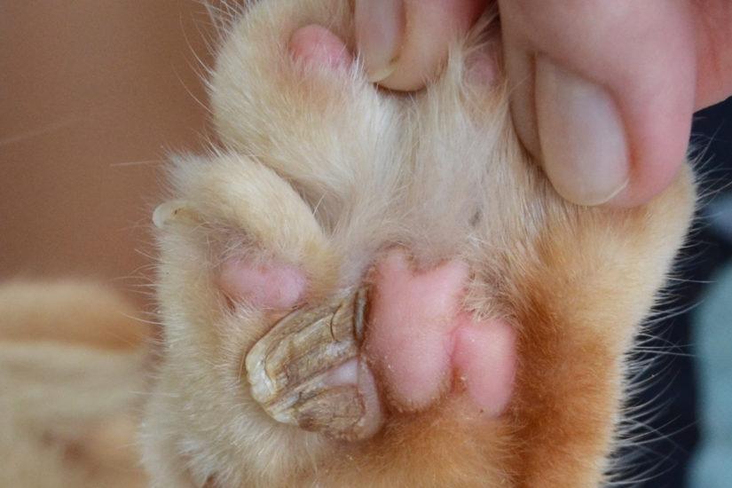 Кожный рог у кошек