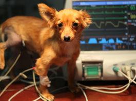 как делают ЭКГ собаке
