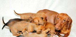 эклампсия у собак