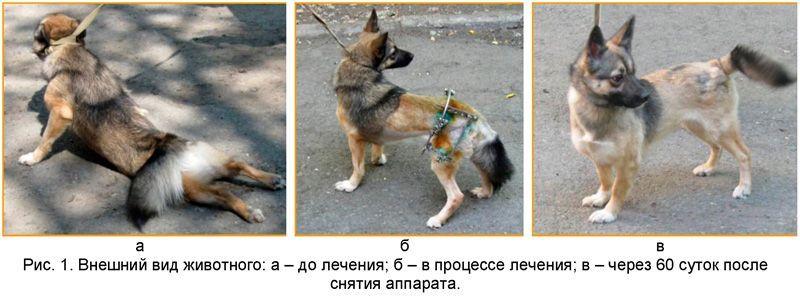 дисплазия суставов у собак