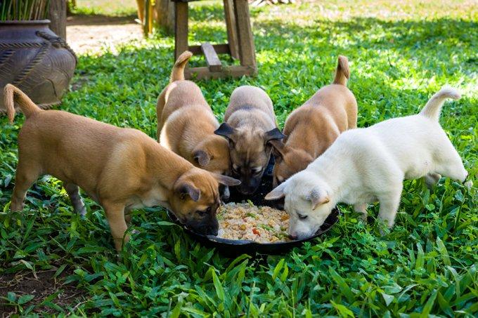 Нормы кормления щенков