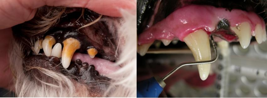 как у собаки болит зуб