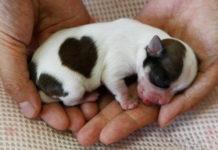 Недоношенные щенки