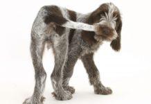 У собаки хвост болит