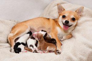 Преждевременные роды у собак