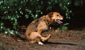 Эхинококкоз у собак