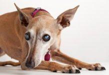 Атрофия сетчатки у собак