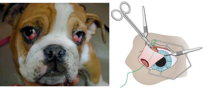 заворот века у собаки